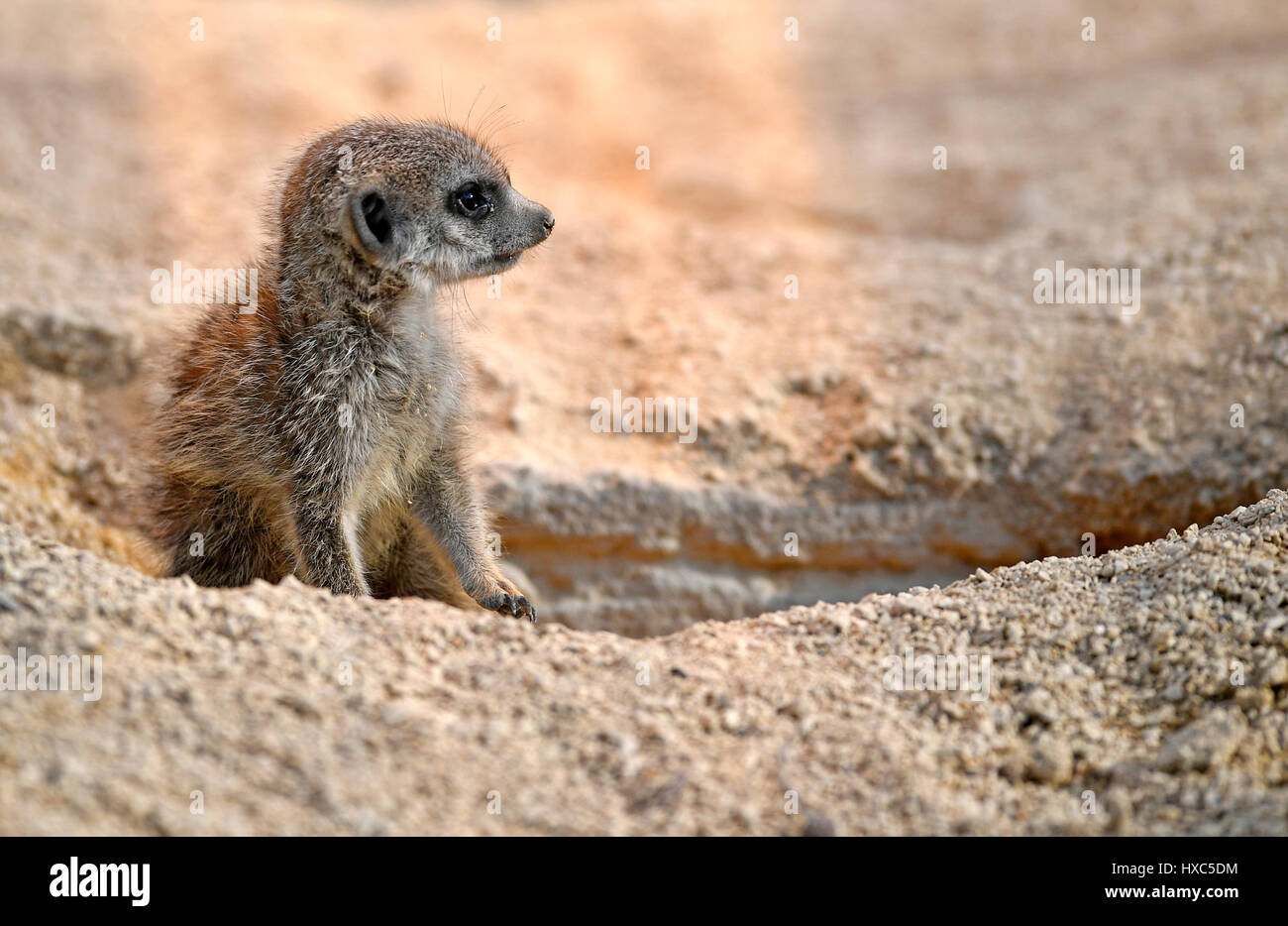 Meerkat (Suricata suricatta), juvenile 10 weeks, captive - Stock Image