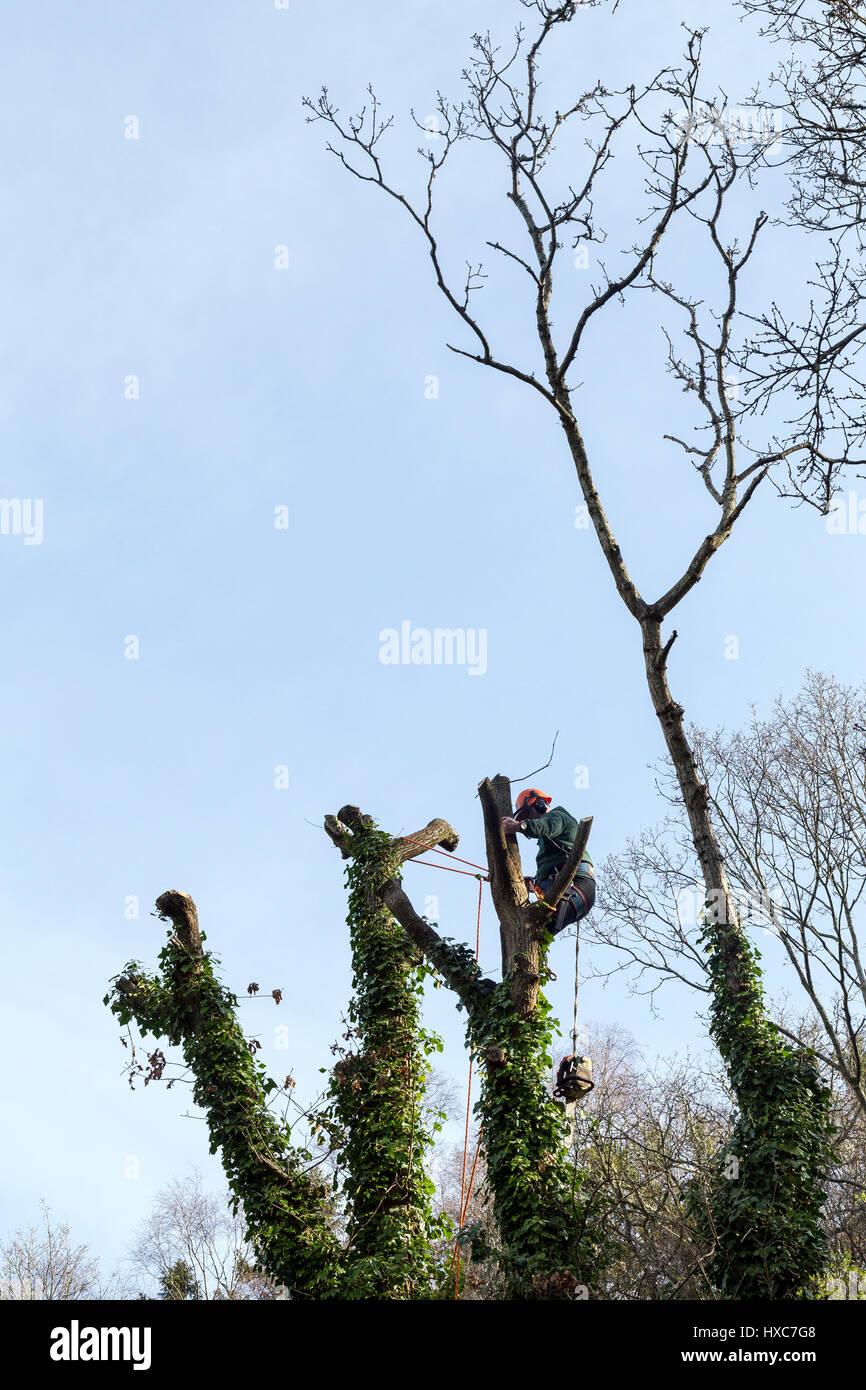 Arborist of lumberjack pollarding tree with a Husqvarna chainsaw,woodland management,ppe,, - Stock Image