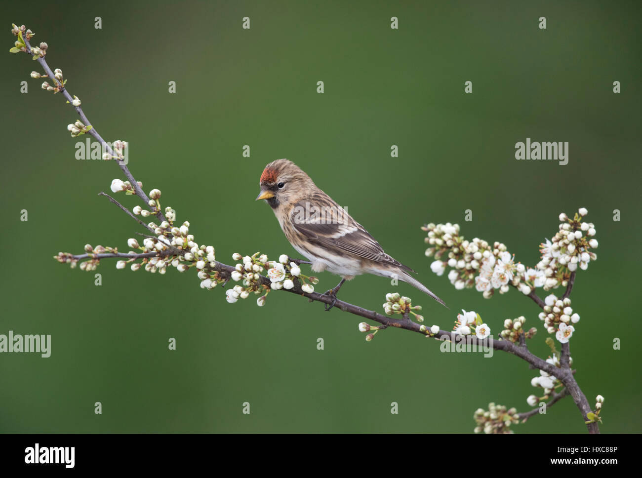 Common Redpoll  on a flowering Blackthorn branch in spring, 2017, on the Wales/Shropshire border, uk - Stock Image
