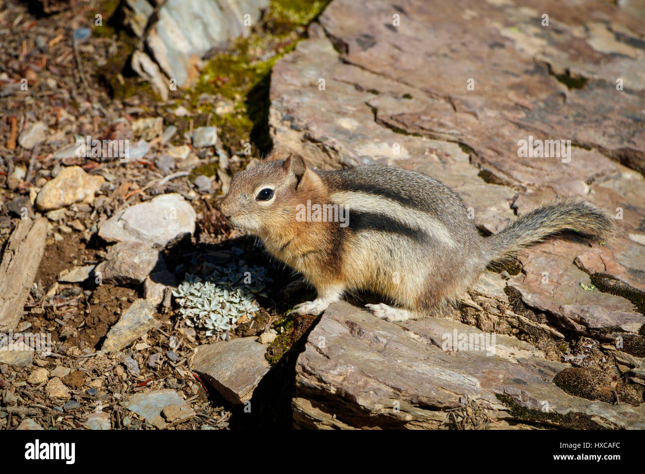 A chipmunk, family  Sciuridae, on the rocks of Jasper National Park, Canada. - Stock Image
