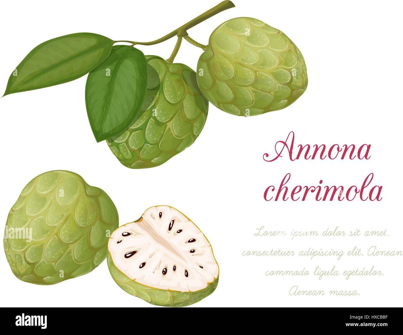 Vector Illustration Of Sugar Apple Annona Cherimoya A Series Exotic Fruits It