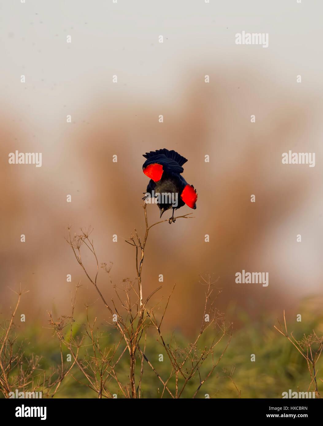 Red winged Blackbird Singing Displaying - Stock Image