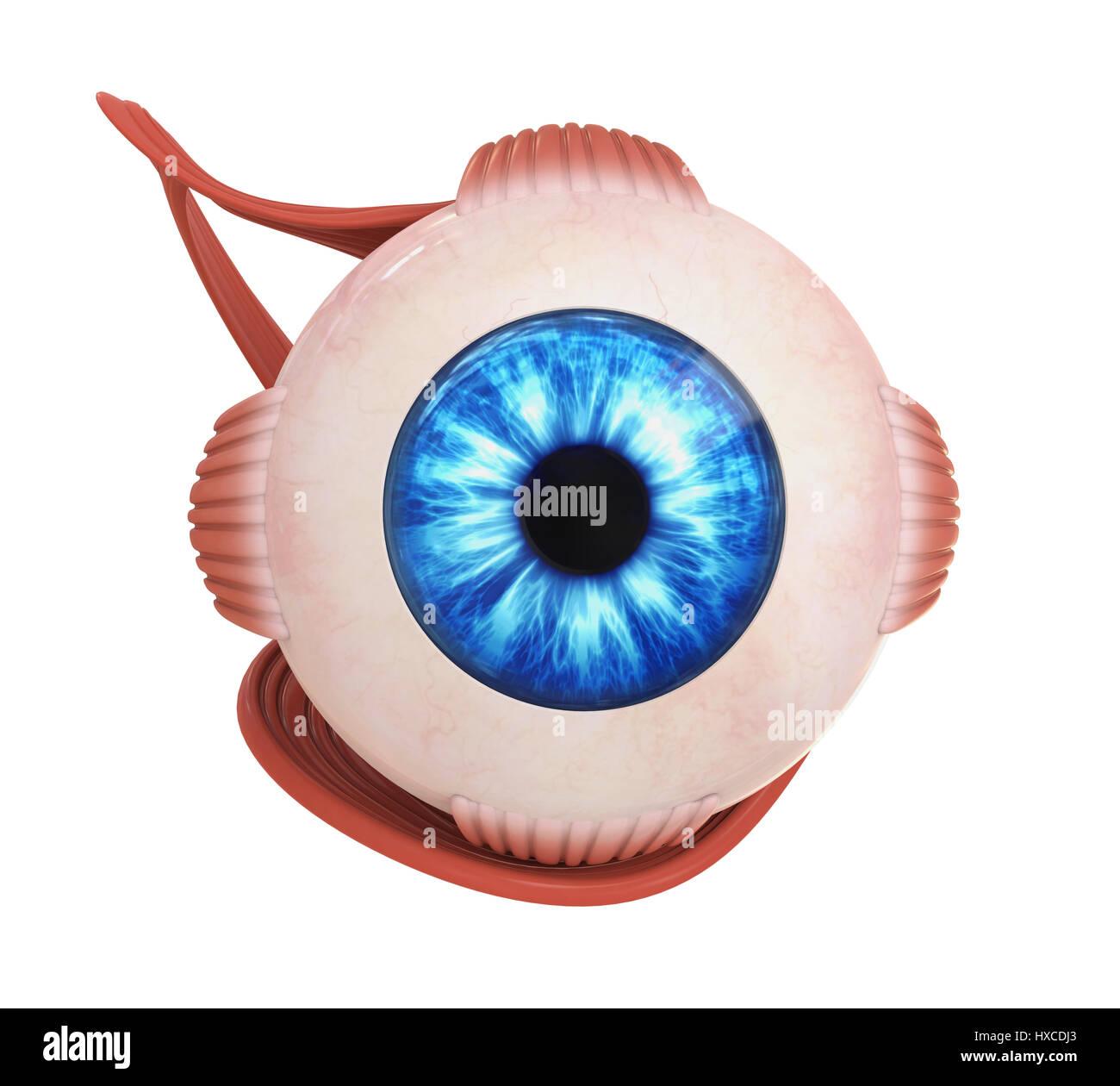Eye lens diagram stock photos eye lens diagram stock images alamy human eye extraocular muscles stock image ccuart Image collections