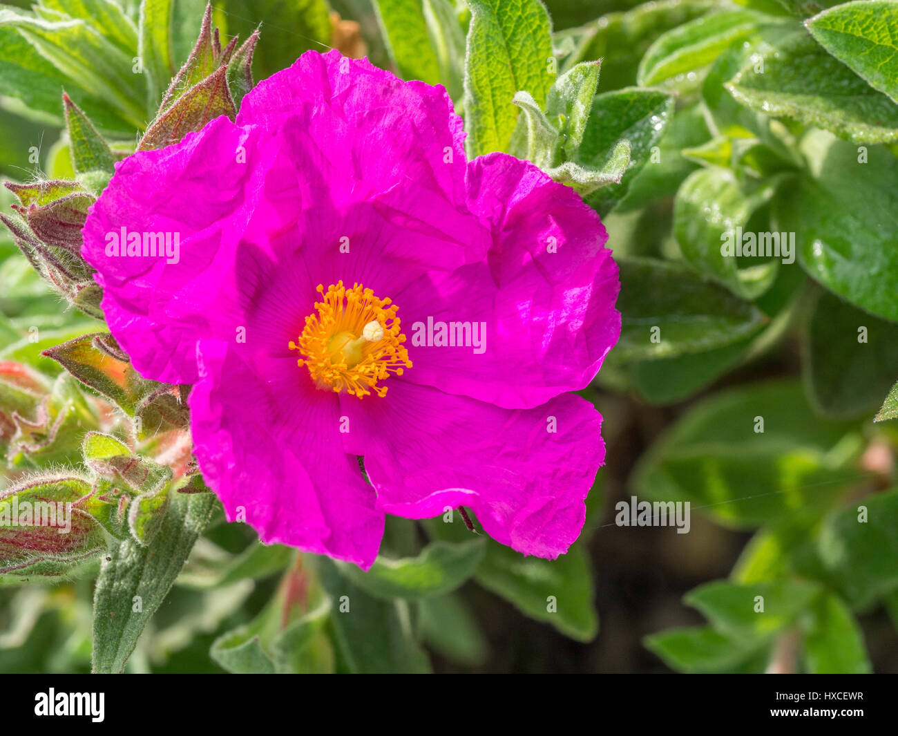 Single flower of Cistus x pulverulentus Sunset - Stock Image