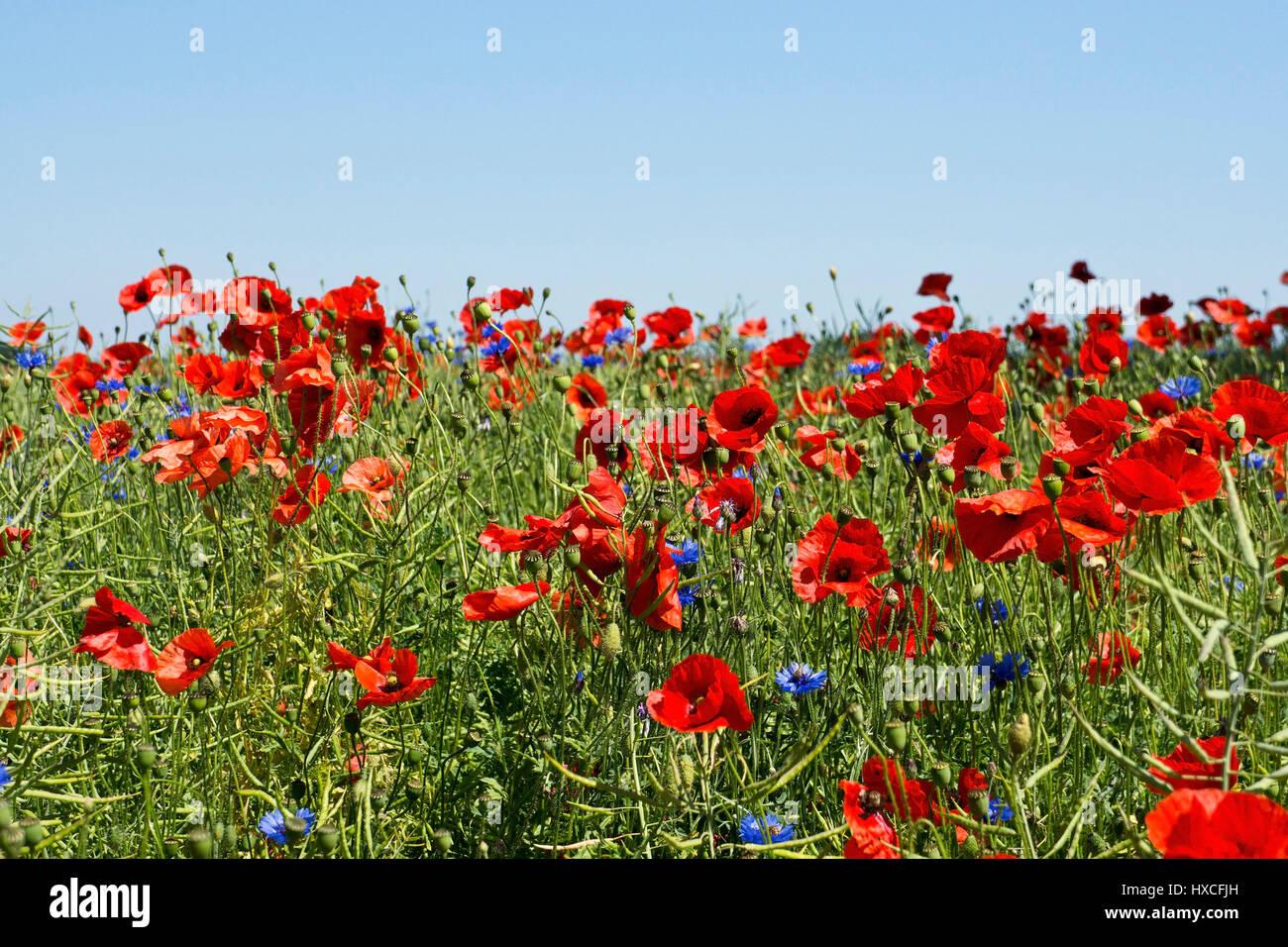 Clap poppy (Papaver rhoeas) and cornflowers (Centaurea cyanus) on a field in Mecklenburg-West Pomerania, Poppies - Stock Image