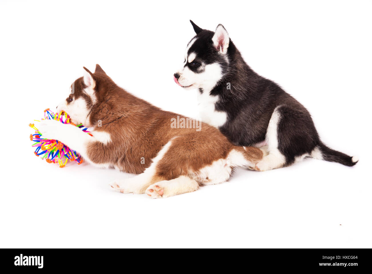Two Siberian Husky Puppy Playing With A Balls In The Studio