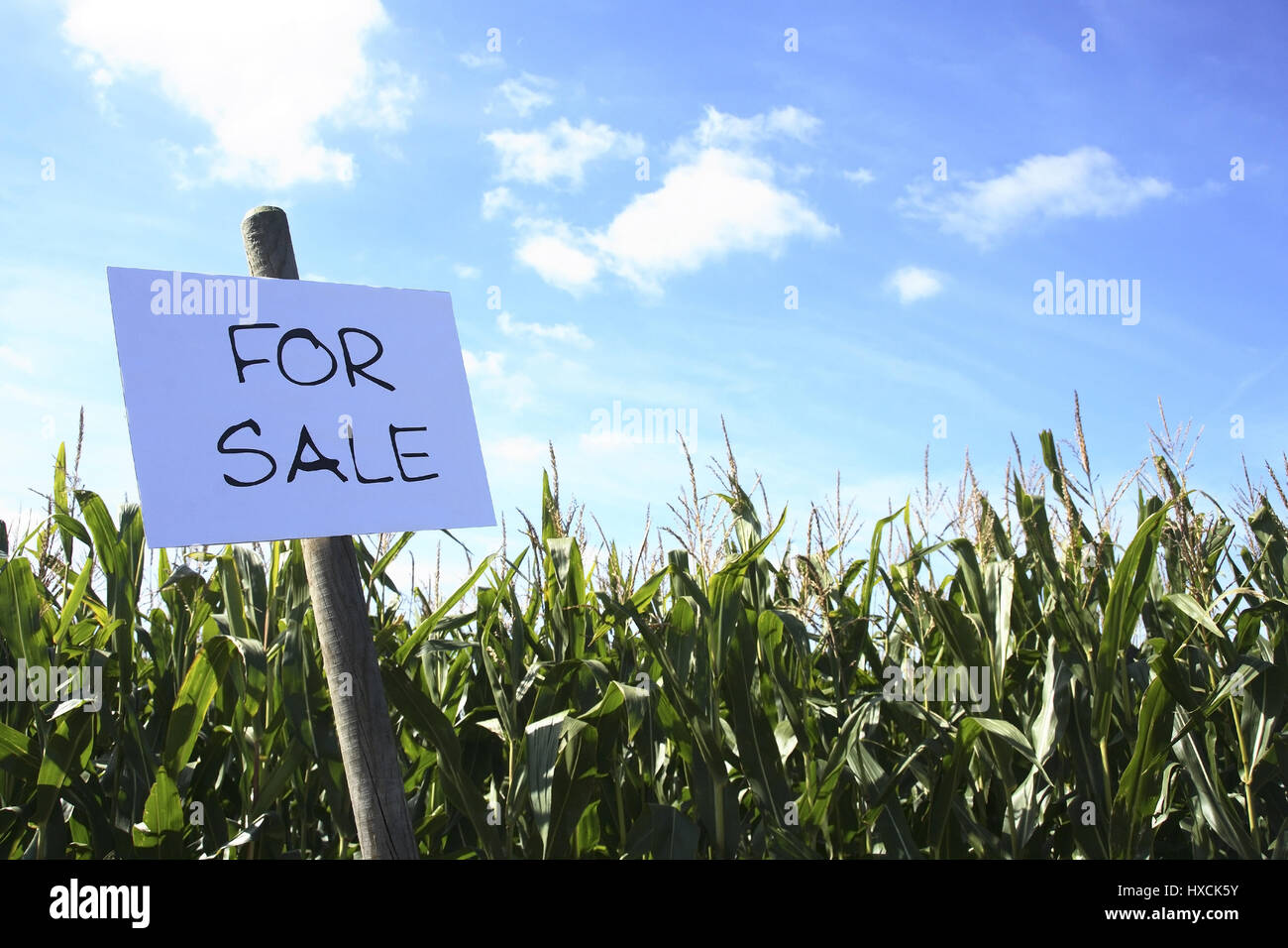 To sell corn field, Maisfeld zu verkaufen - Stock Image