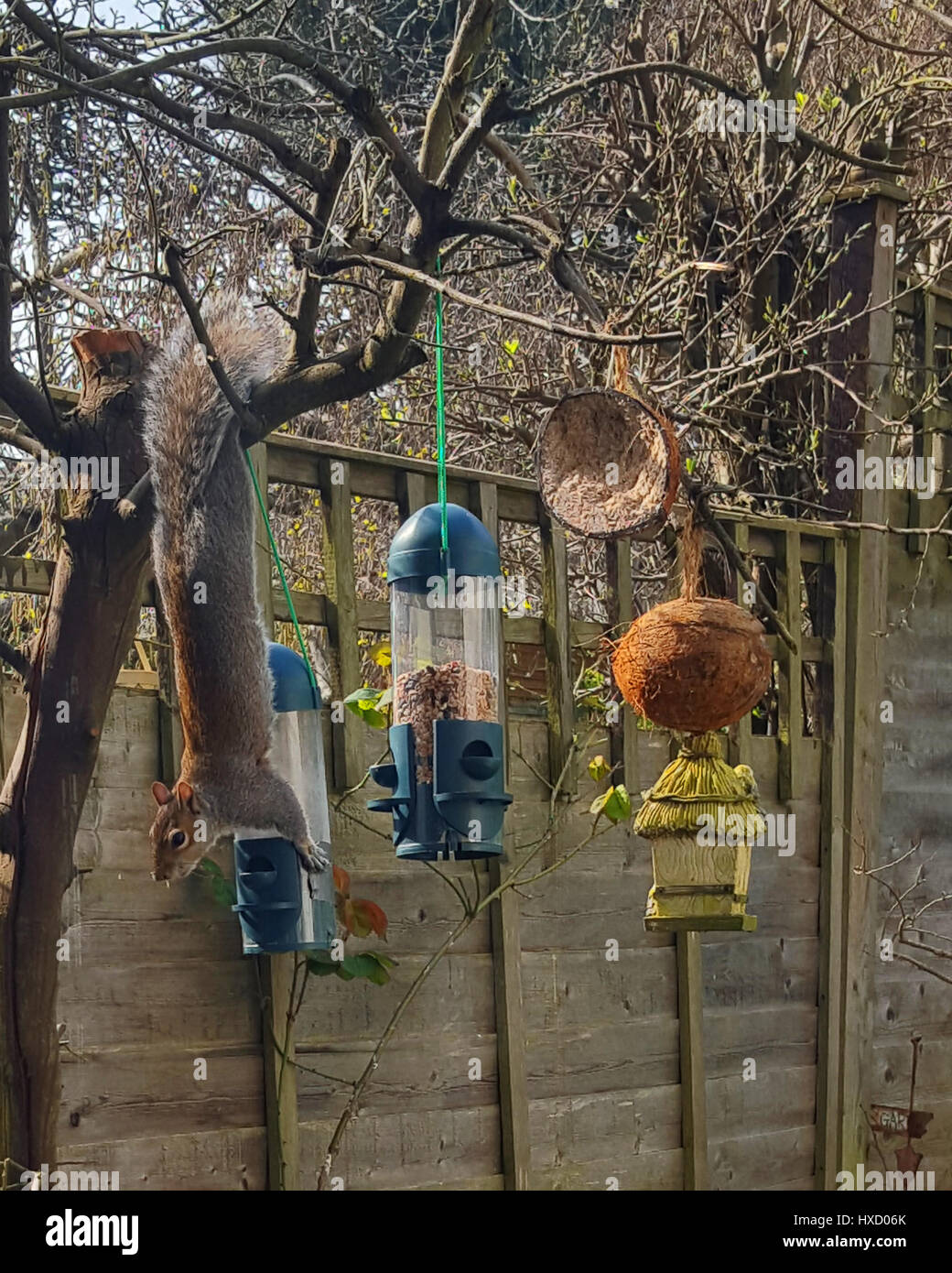 Bristol, UK. 27th Mar, 2017. UK Weather. A cheeky squirrel seen taking food from a bird feeder while hanging upside Stock Photo