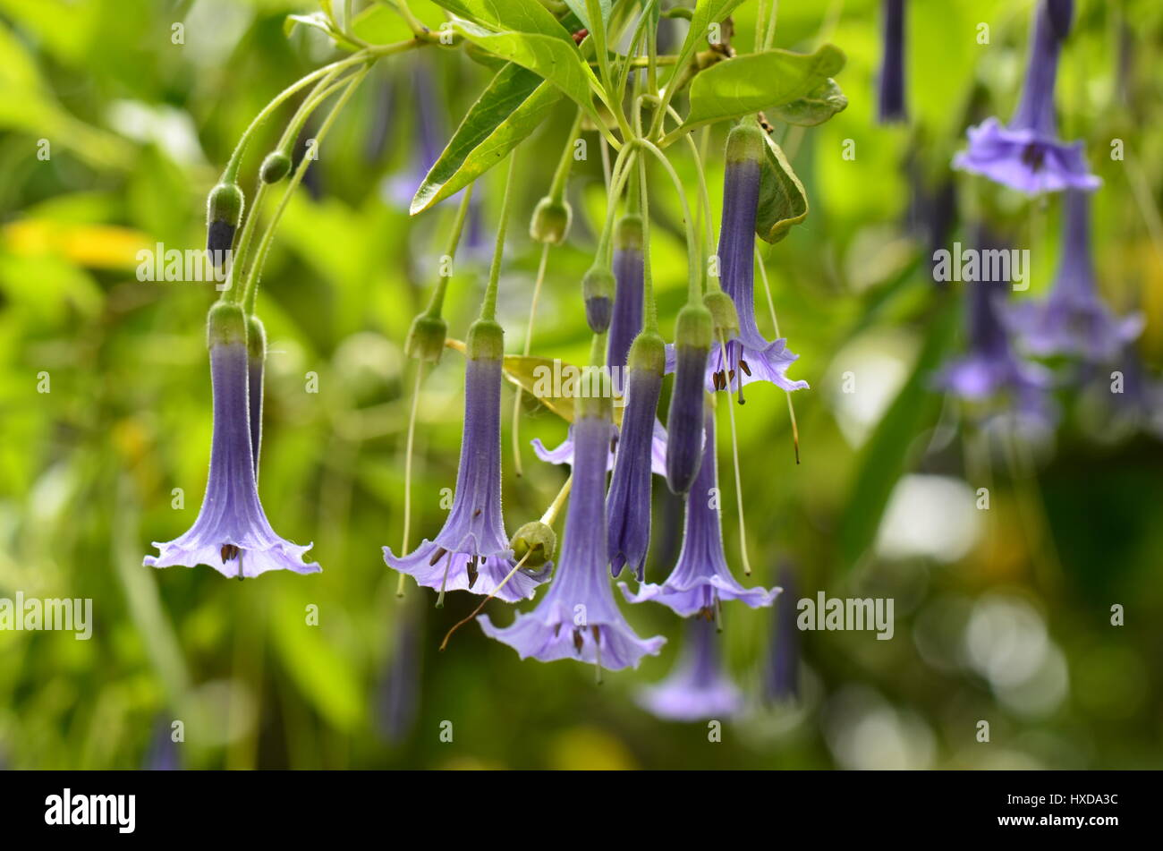 Purple bell flowers on green stock photos purple bell flowers on purple bell flowers on green background stock image mightylinksfo