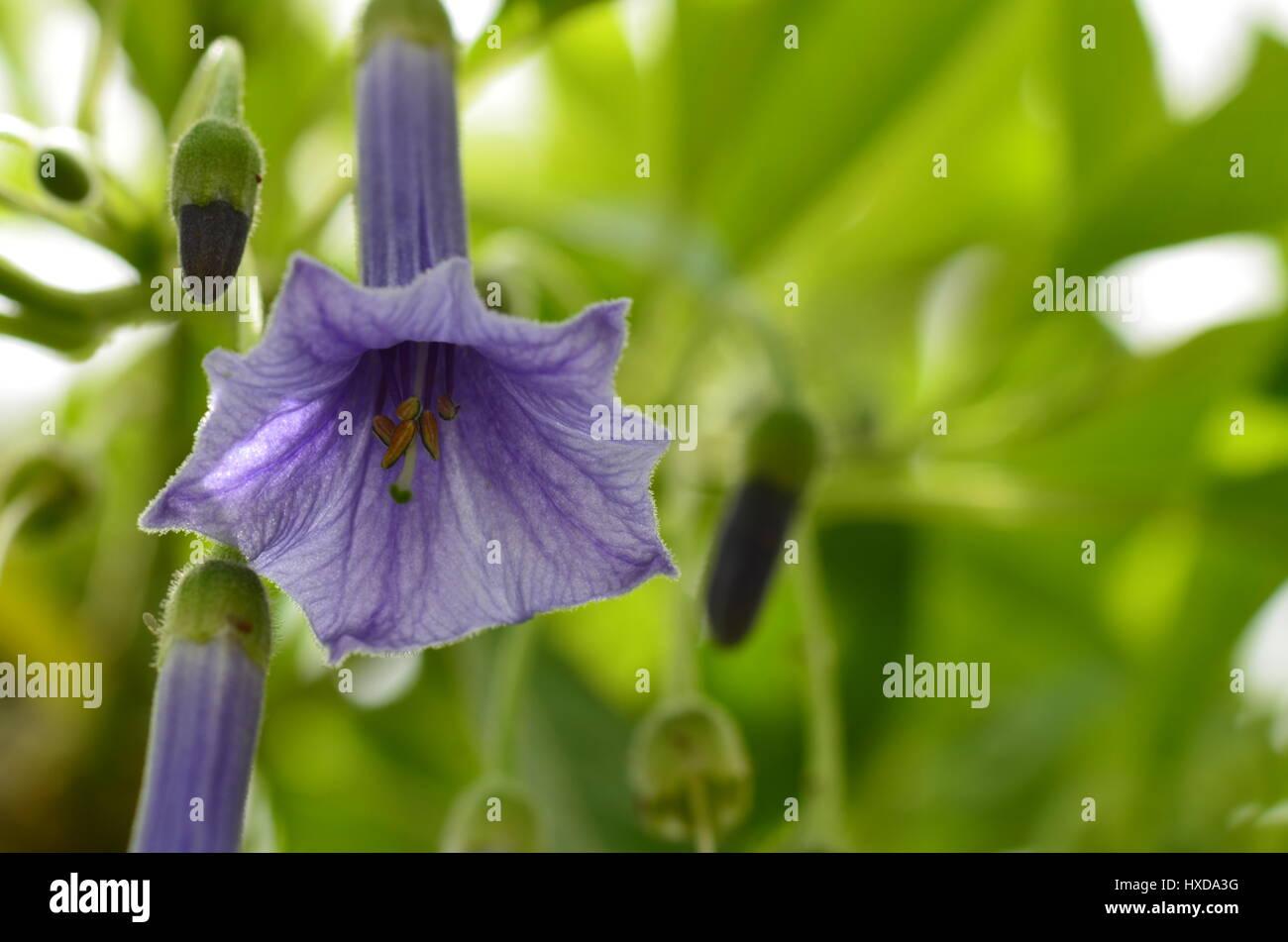 Purple Bell Flowers On Green Stock Photos Purple Bell Flowers On