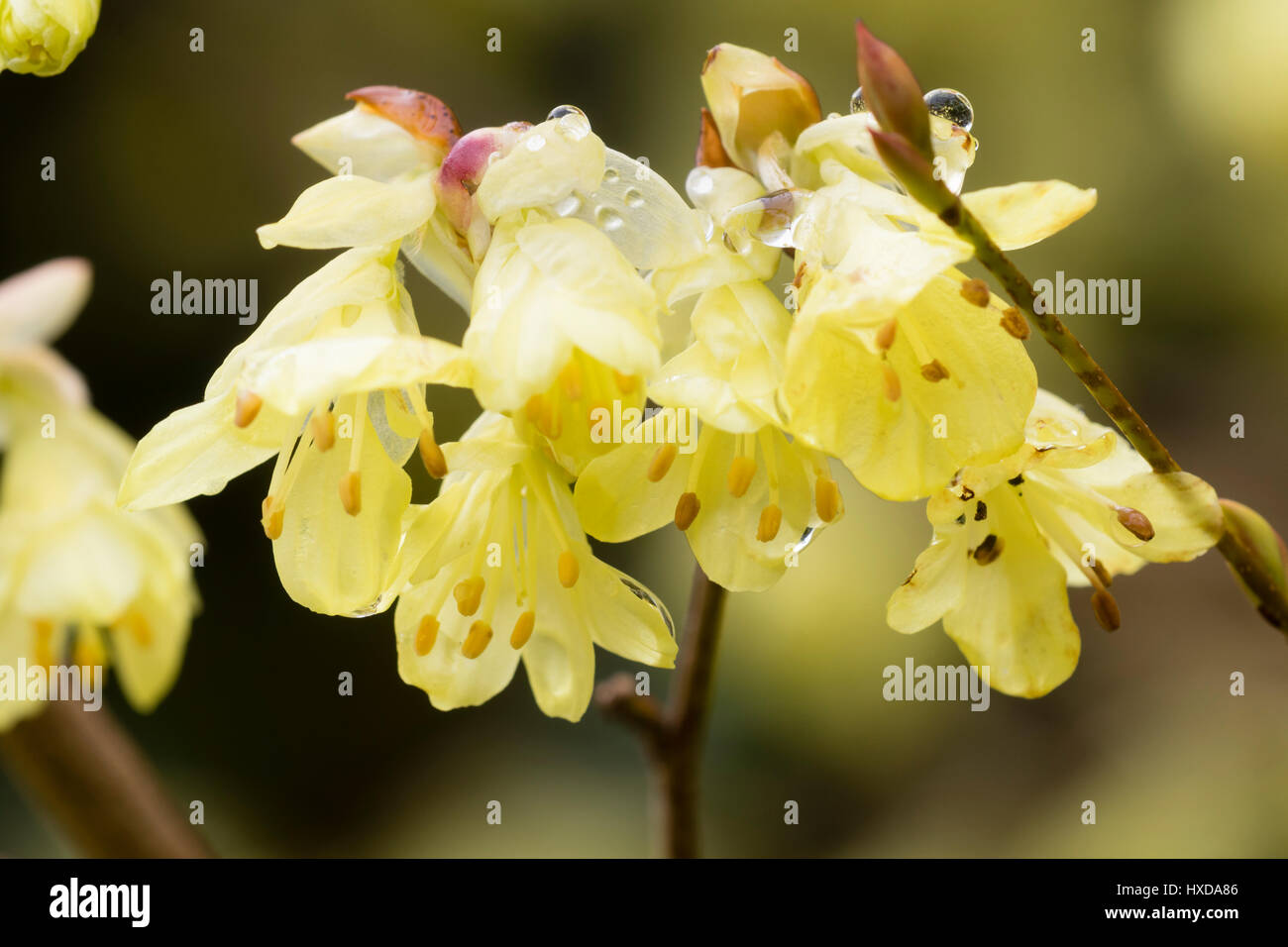 Pale yellow early spring flowers of the winter hazel, Corylopsis pauciflora - Stock Image