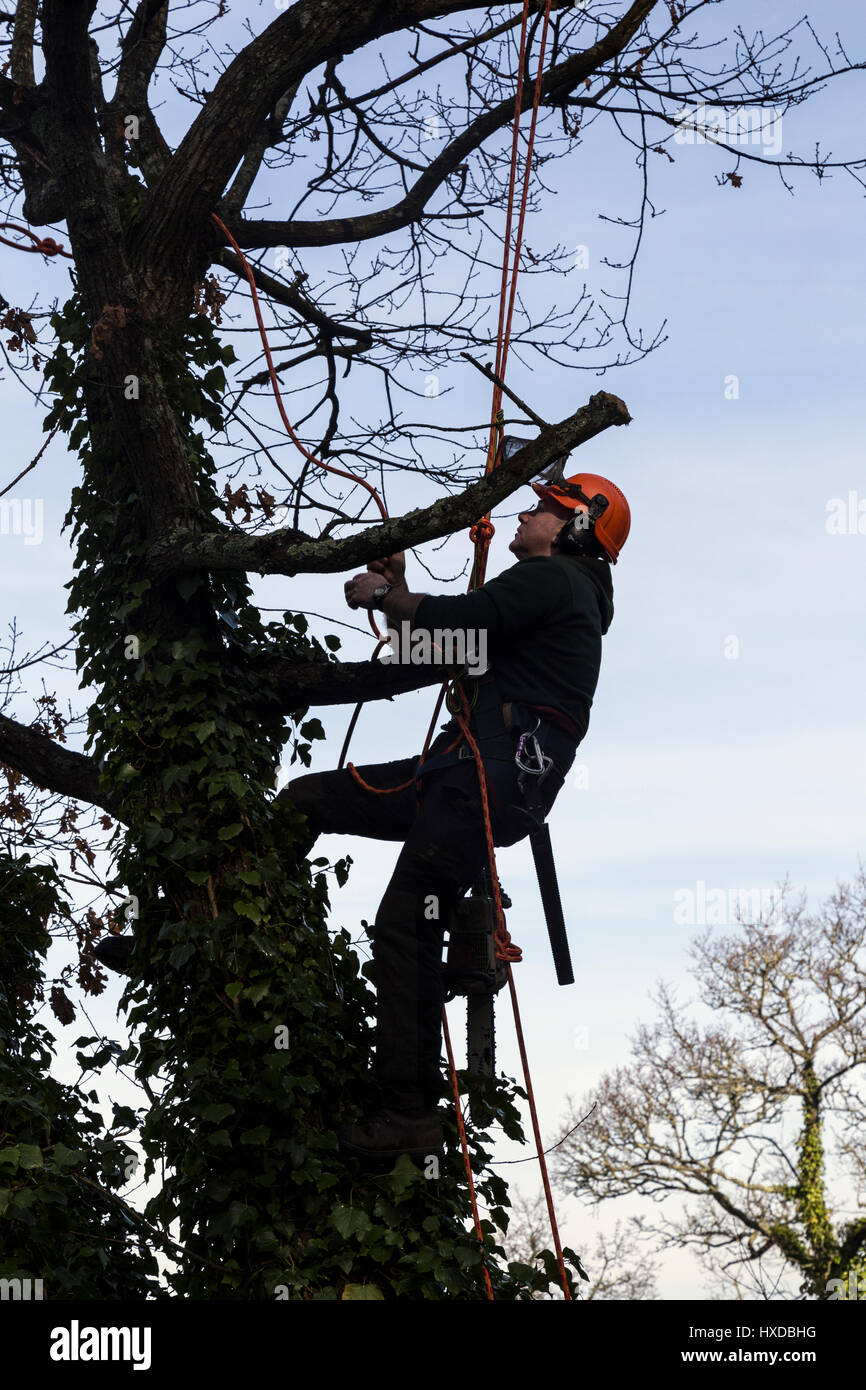 Arborist or lumberjack pollarding tree with a Husqvarna chainsaw,woodland management,ppe,morning, narrow, narrow - Stock Image