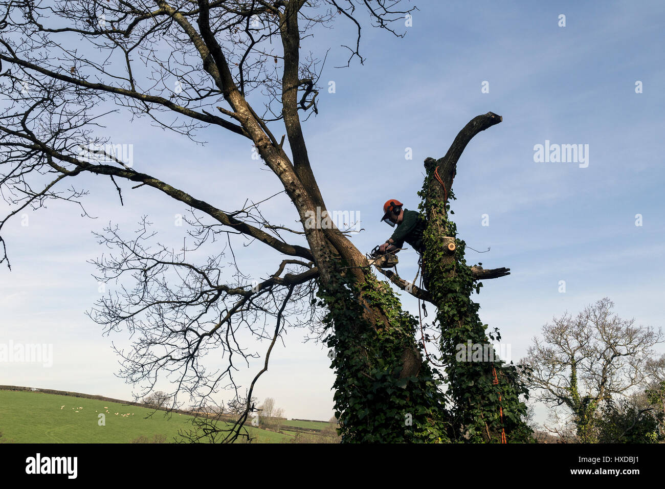 Arborist of lumberjack pollarding tree with a Husqvarna chainsaw,woodland management,ppe,cultivating, cut, cutting, - Stock Image