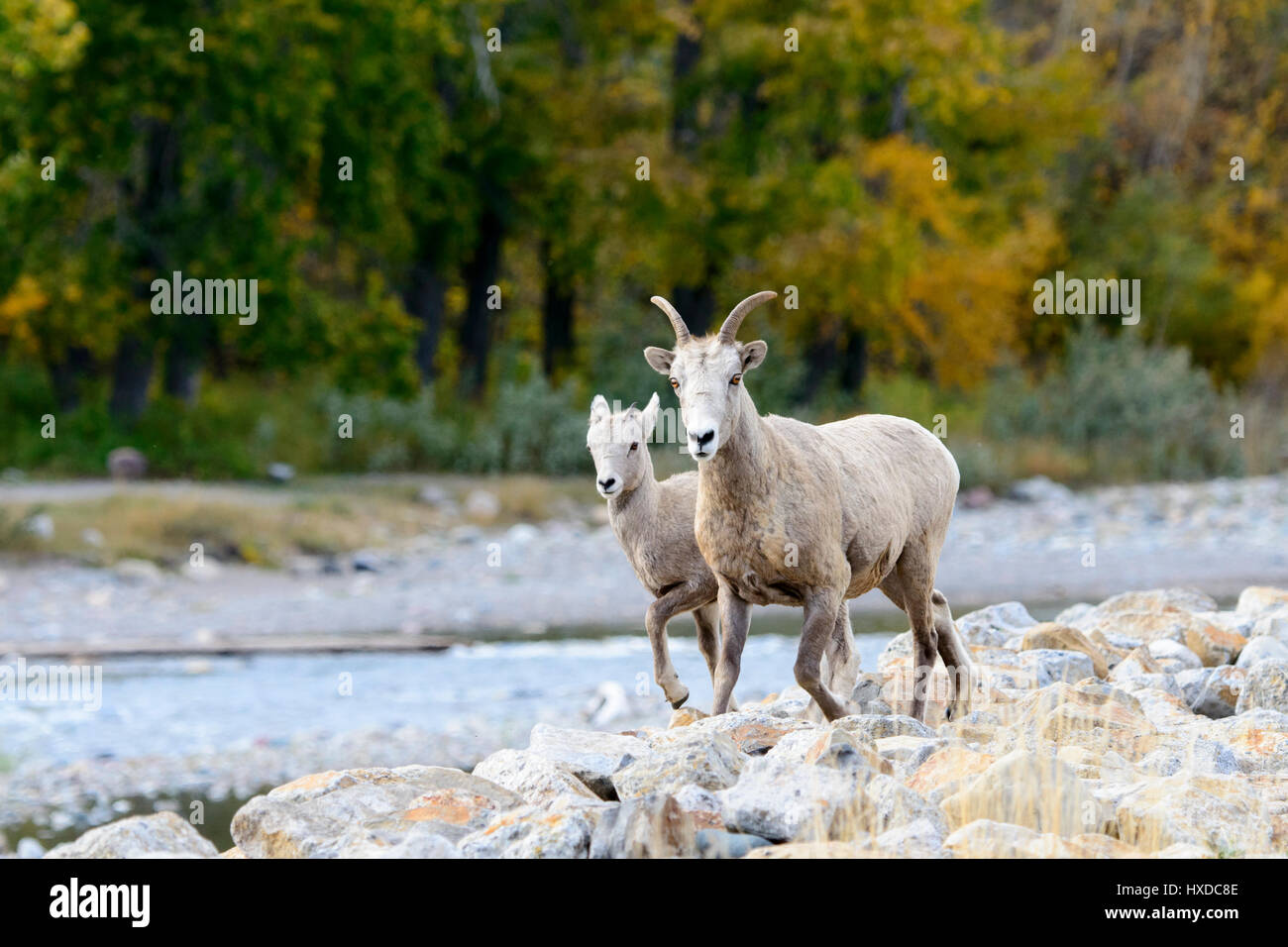 A Bighorn ewe (Ovis canadensis) and her lamb walk along a creek in Autumn, North America - Stock Image