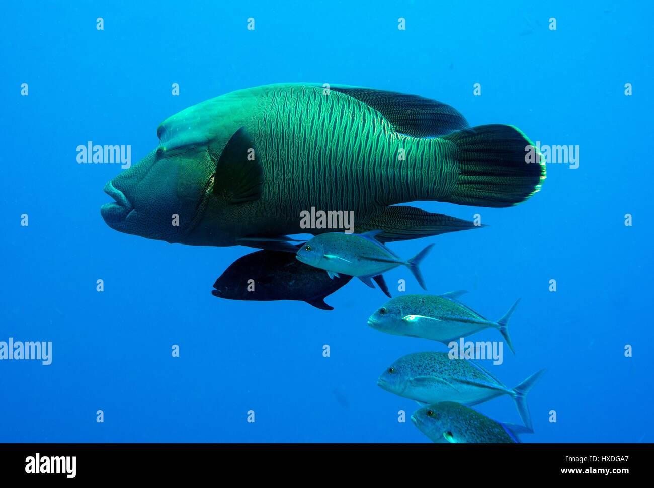 Napoleon wrasse and jackfish, Indo Pacific - Stock Image
