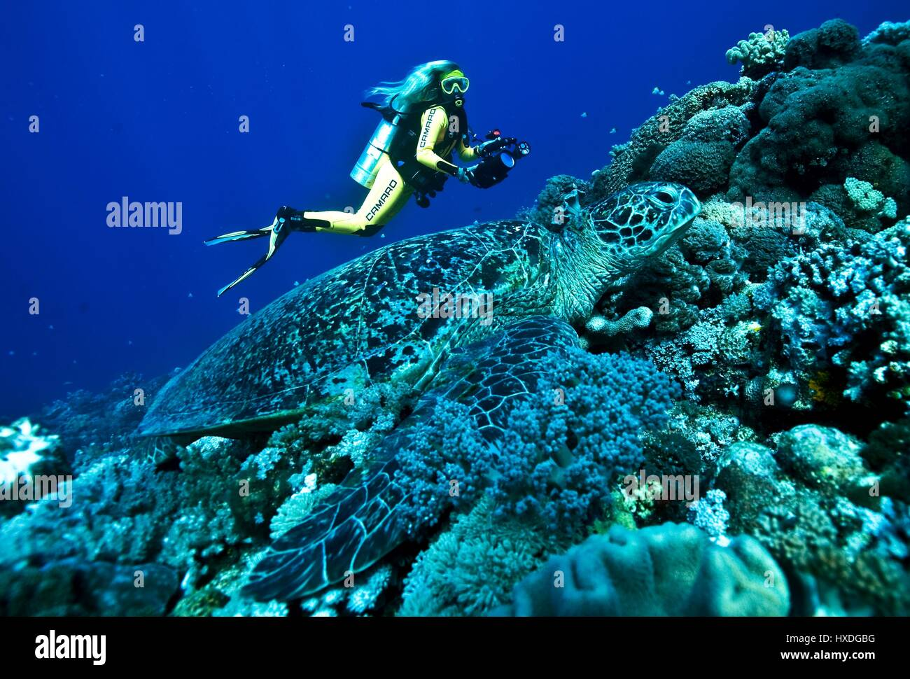 Female diver meets big green turtle, Indo Pacific - Stock Image