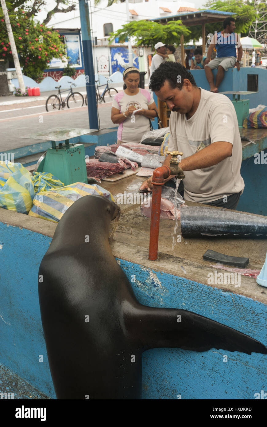 Ecuador, Galapagos, Santa Cruz island, Puerto Ayora, outdoor fish market, seal begging for fish - Stock Image