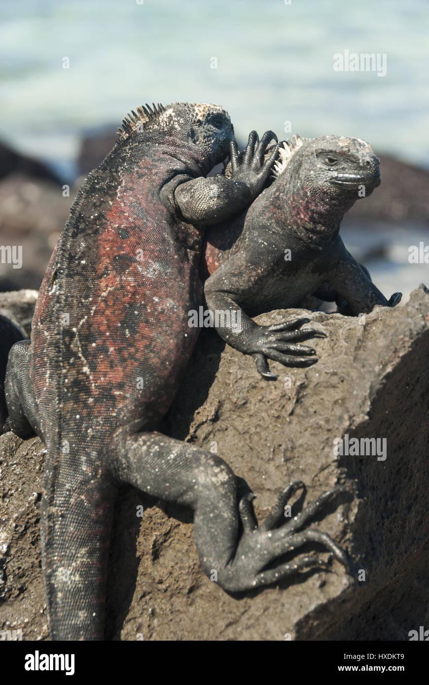 Ecuador, Galapagos, Espanola island, Gardner Bay, Marine iguanas - Stock Image