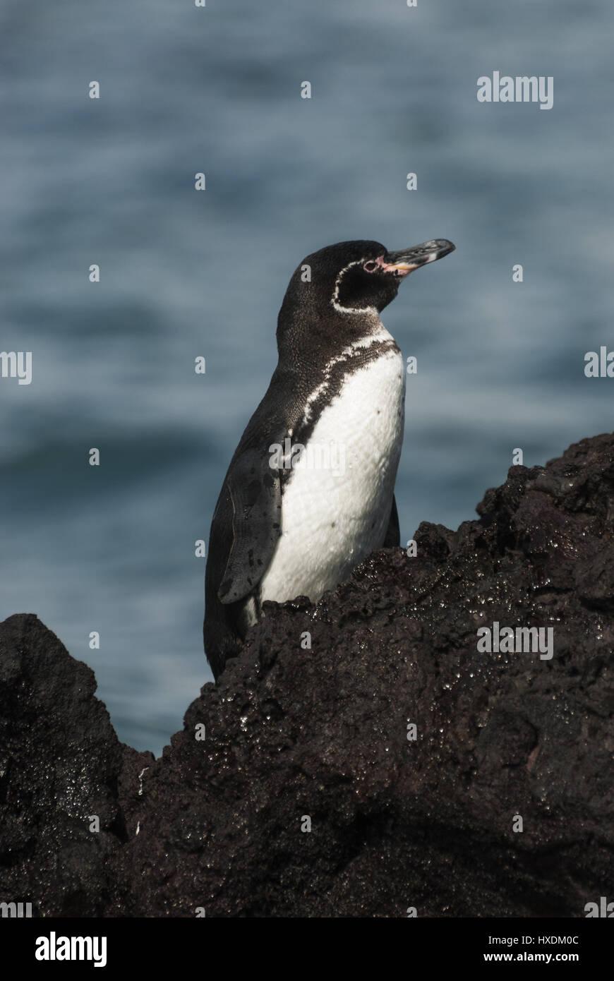 Ecuador, Galapagos, Isabela island, Elizabeth Bay, Galapagos penguin - Stock Image