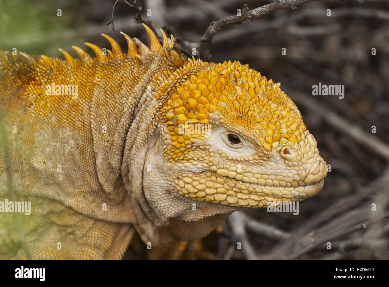 Ecuador, Galapagos, Isabela island, Bay Urbino, land iguana - Stock Image