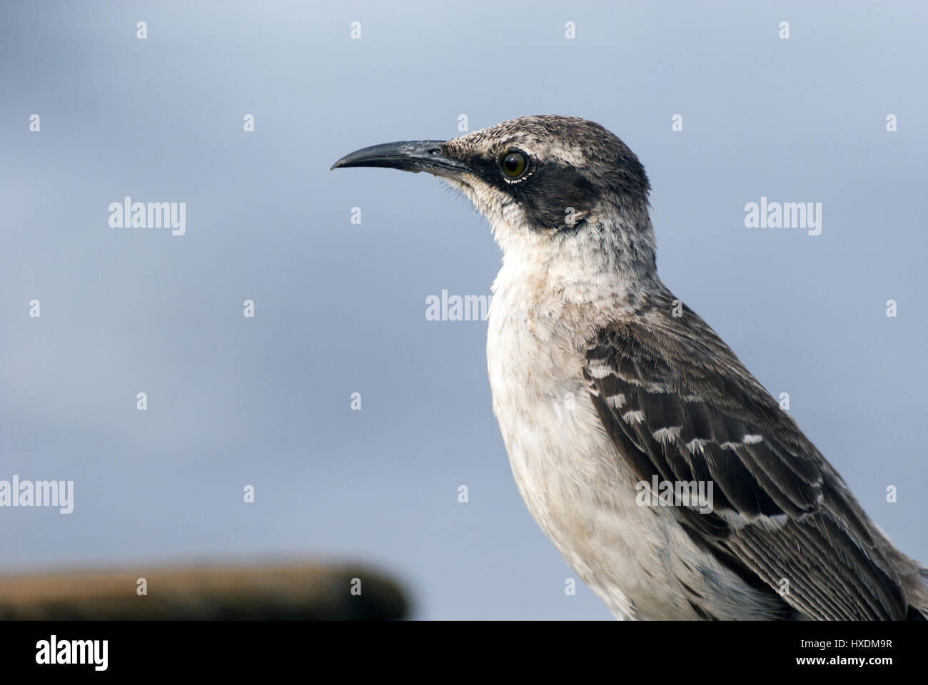 Ecuador, Galapagos, Santiago island, Puerto Egas, Galapagos mockingbird Stock Photo