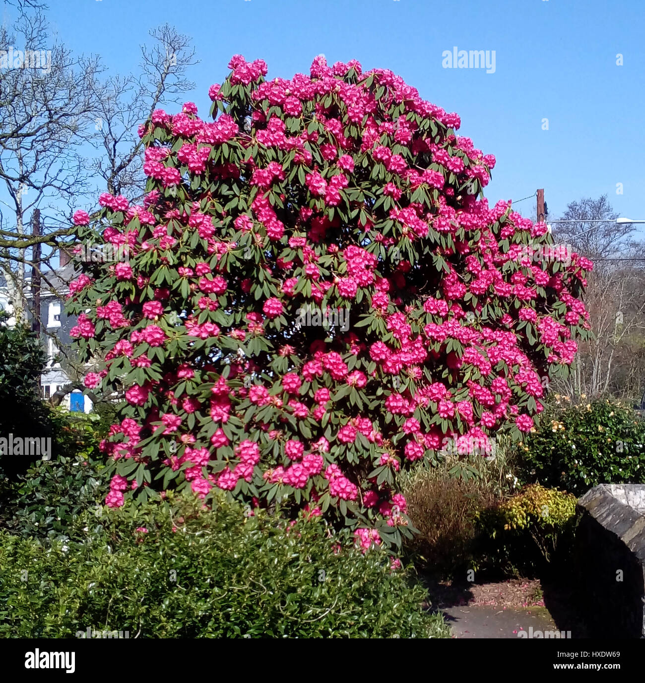 A Large Pink Camellia Japonica Bush In The Town Of Ivybridge Devon