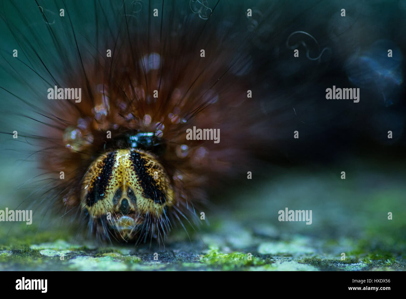 Close up macro of the face of a Hairy Gypsy Moth Caterpillar.Stock Photo