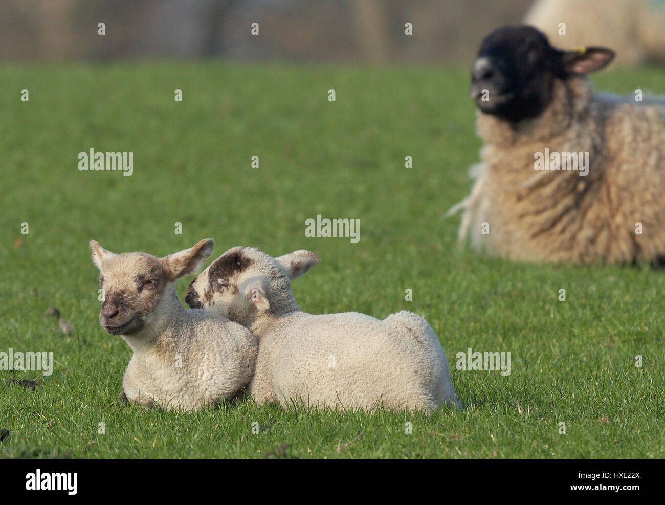 Pair of young lambs in a green field - Stock Image