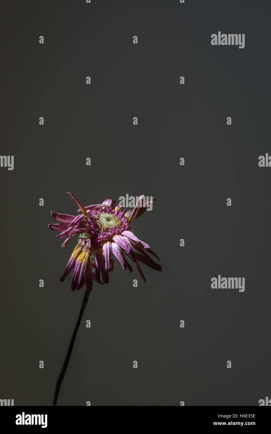 A dried Flowerhead on a dark background - Stock Image
