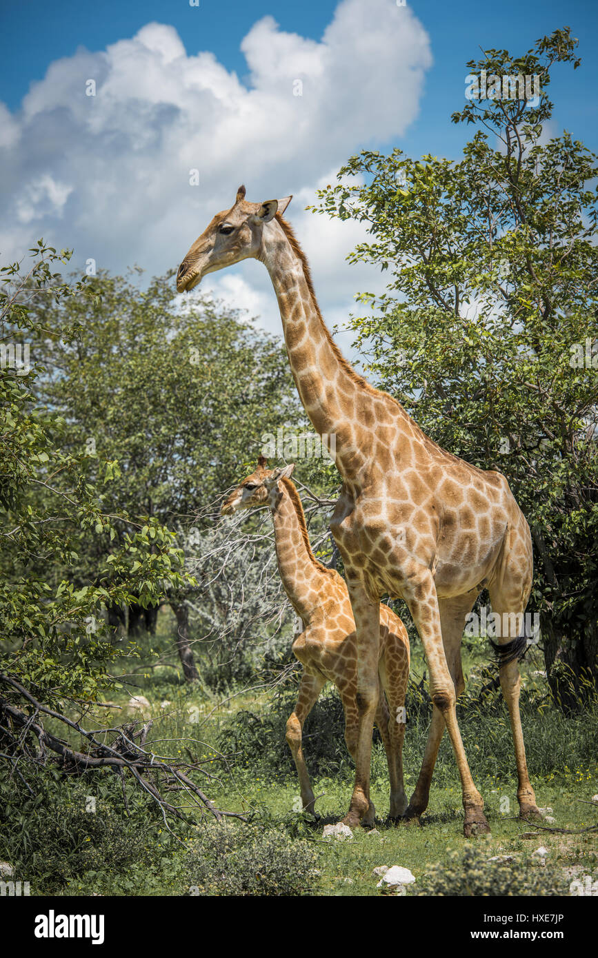 Giraffes in Etosha national park, Namibia - Stock Image