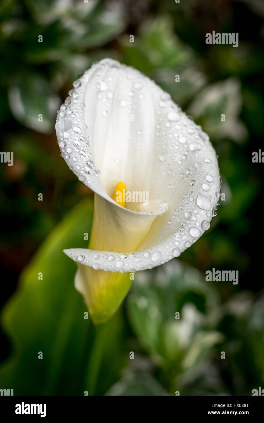 stock photo of white calla lily with rain drops (water droplets) side view in garden in rain with soft focus green - Stock Image