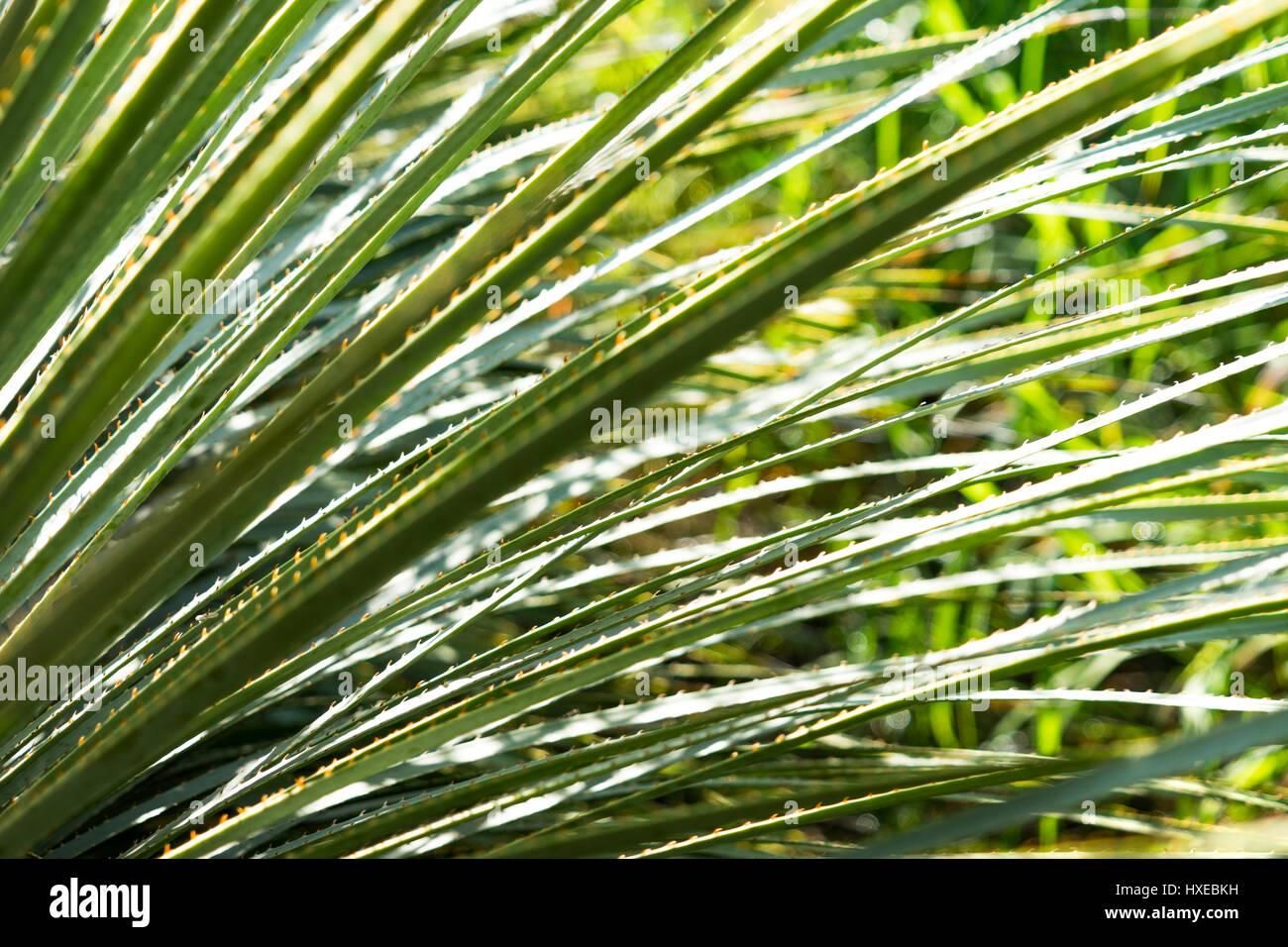 Backlit green sawgrass in Tucson, Arizona - Stock Image