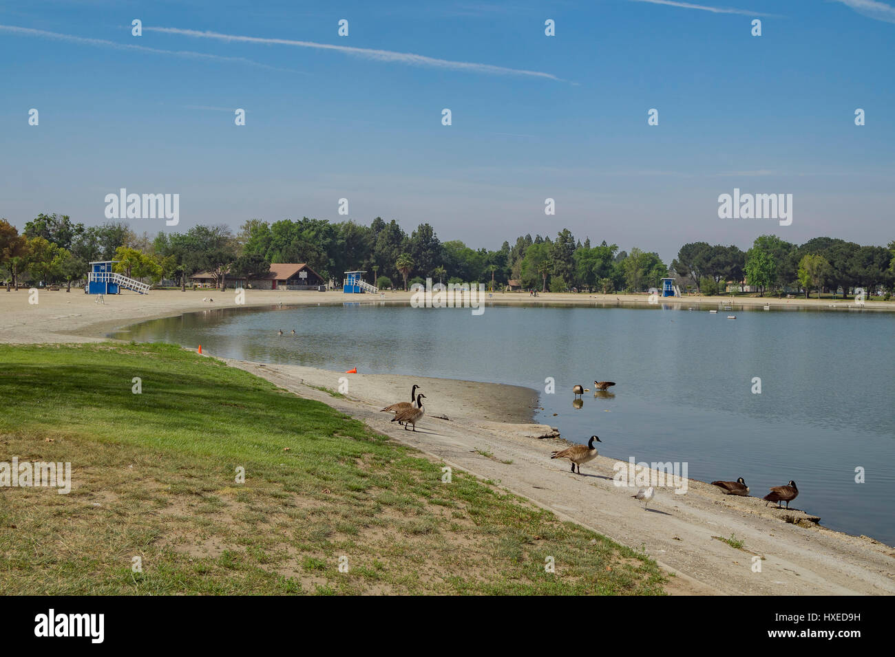 Dosemitc Geese Around The Beach Of Santa Fe Dam Recreation Area Los Stock Photo Alamy