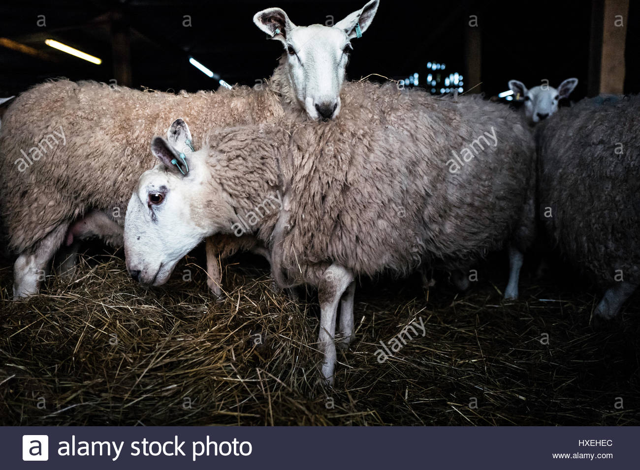 Oxnam Row Farm, Jedburgh, Scottish Borders, UK. 27th March 2017. Early morning in a lambing shed with Cheviot ewes - Stock Image