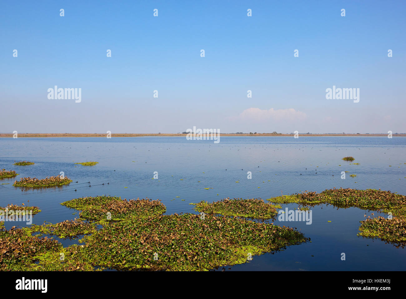water hyacinth and bird life at harike wetlands nature reserve in punjab india under a blue sky - Stock Image