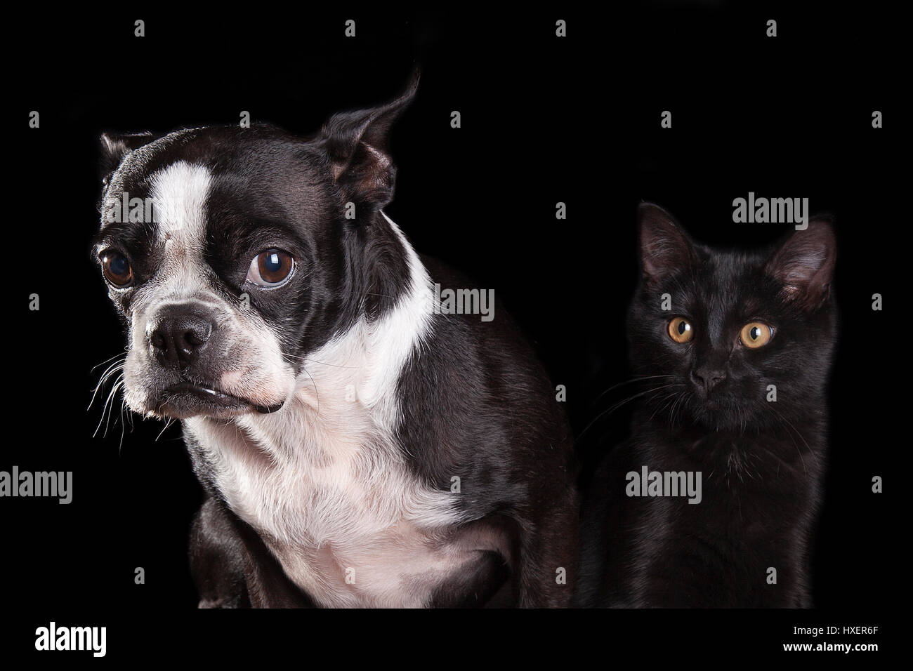 Portrait of a sad Boston terrier and a merrily happy black cat isolated on a black background - Stock Image