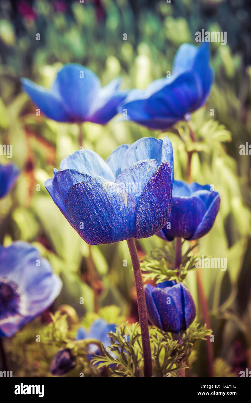 Closeup of blue tulips on blurred background - Stock Image