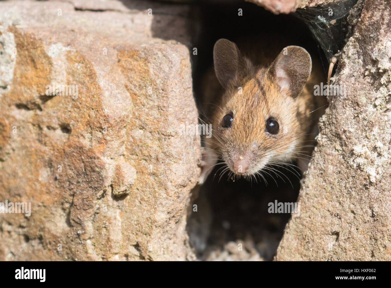 House mouse (Mus musculus) looking out of a hole in stone wall, Germany - Stock Image
