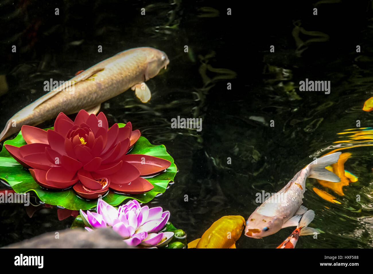 Koi Carp On White Stock Photos & Koi Carp On White Stock Images - Alamy