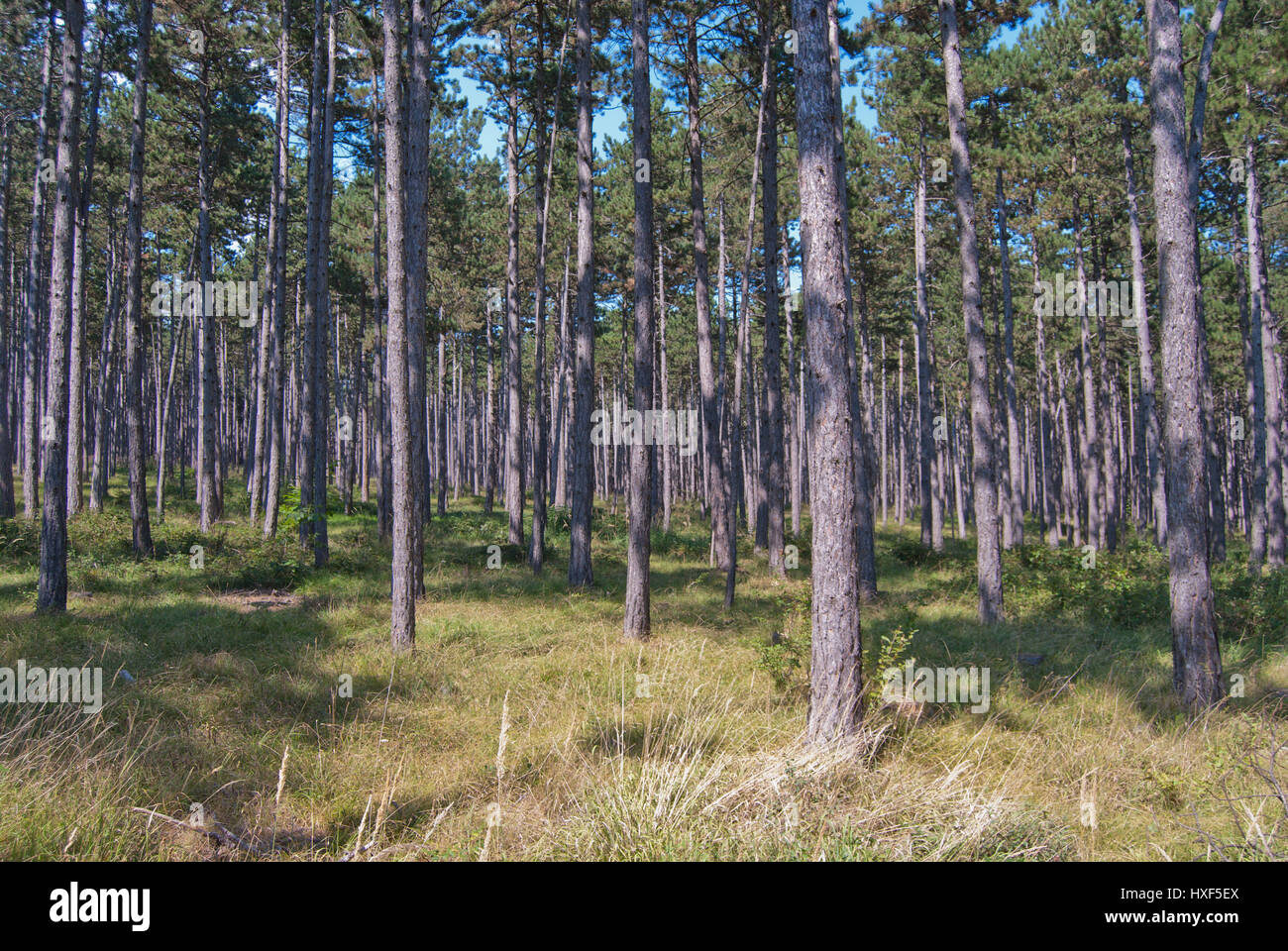 Austrian pine (Pinus nigra) forest monoculture, providing timber and non-timber forest products as resin. - Stock Image