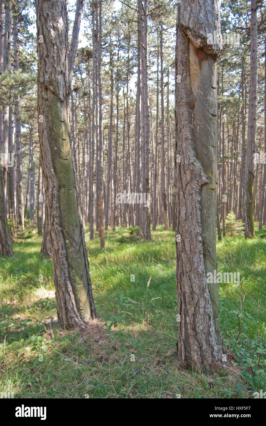 Austrian pine (Pinus nigra) forest with remnants of resin extraction (tapping). Resin chemicals are widely used - Stock Image