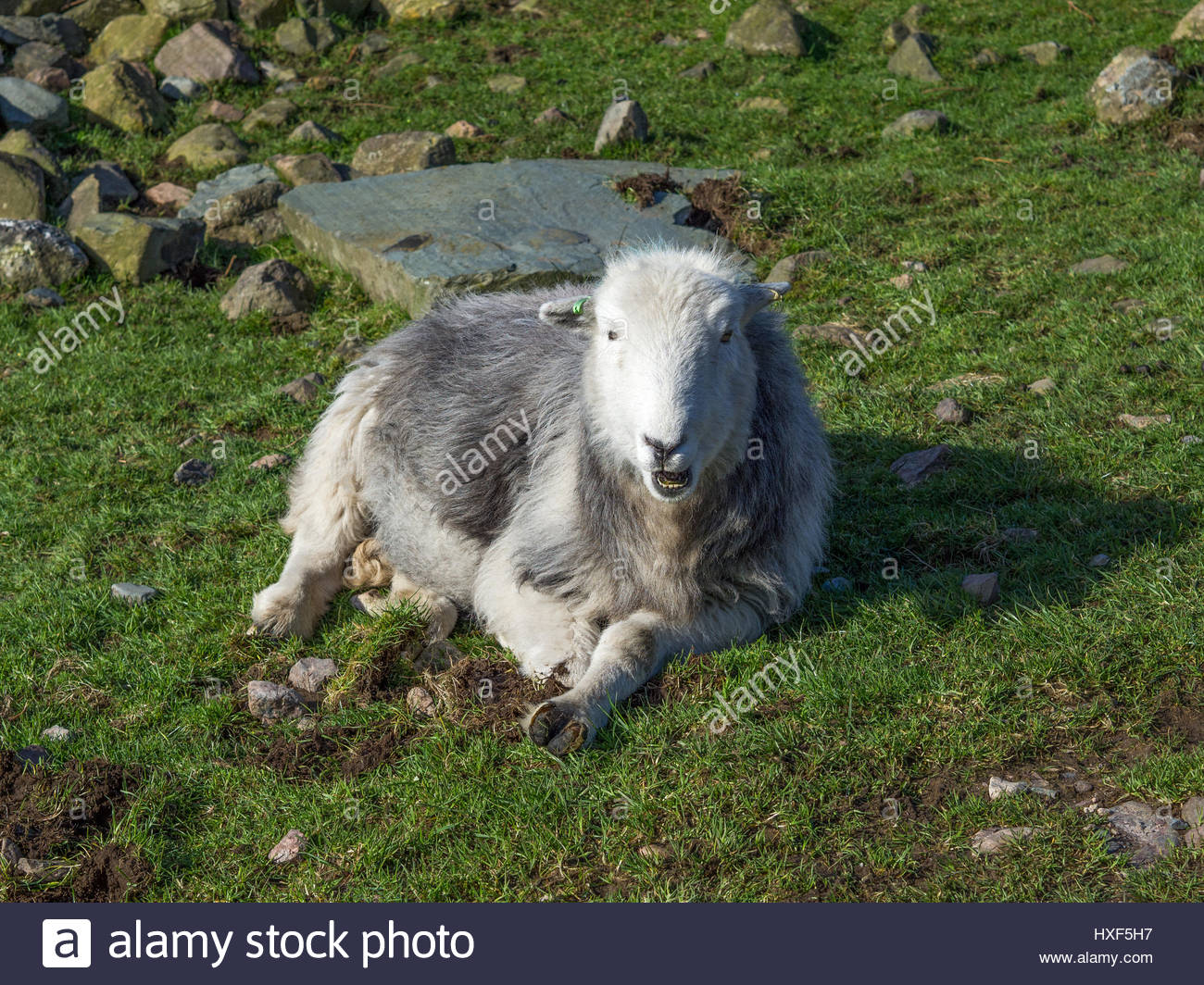 Herdwick Sheep laying down looking at camera in Lake District.  Herdwicks are part of the scenery of the Cumbrian - Stock Image