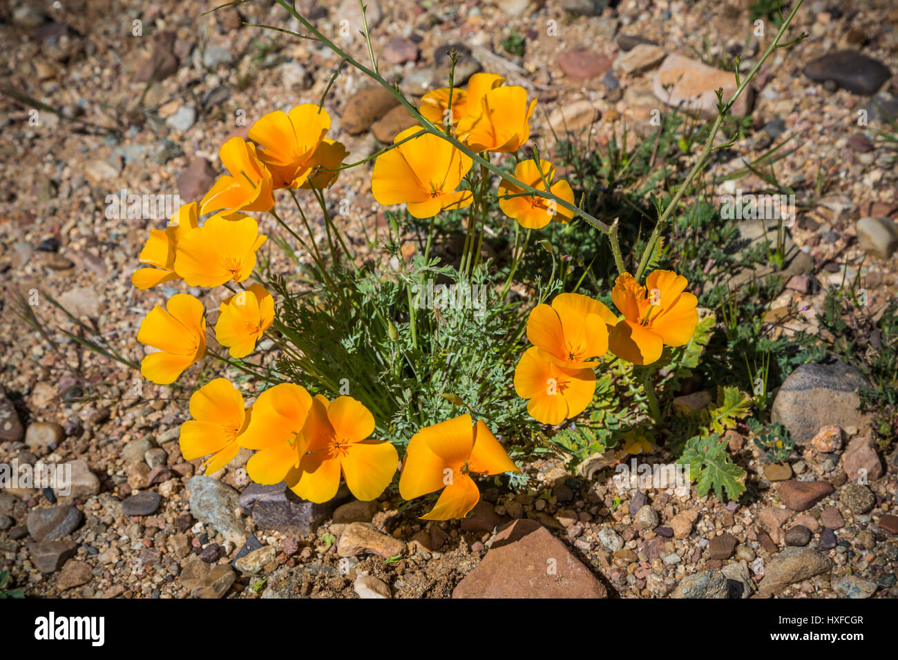 Mexican Gold poppies blooming in Peridot Mesa at the San Carlos Apache Reservation near Globe, Arizona, USA. - Stock Image