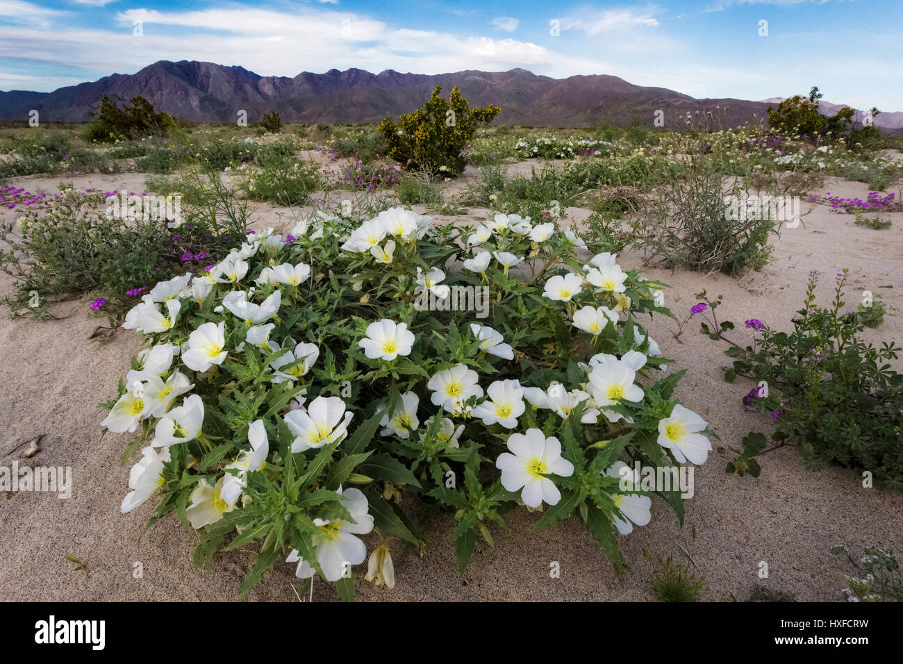 Dune primrose (Oenothera deltoides ssp. deltoides/Onagraceae) blooming in Anza-Borrego Desert State Park, California, - Stock Image