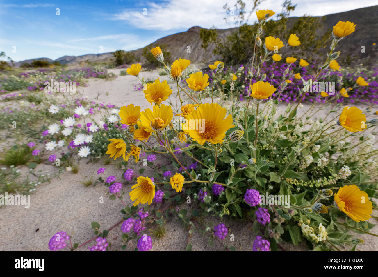 Spring flowers blooming in Anza-Borrego Desert State Park, California, USA 2017 - Stock Image