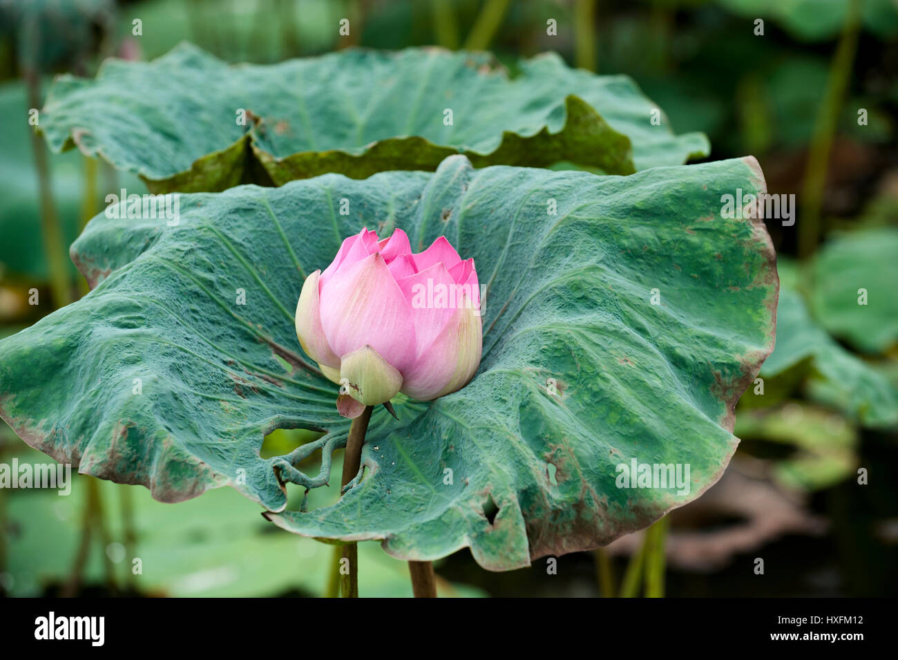 Vietnamese lotus flowers stock photos vietnamese lotus flowers the pink lotus originated as a hybrid movement of buddhism that emphasised strict vegetarianism and permitted mightylinksfo