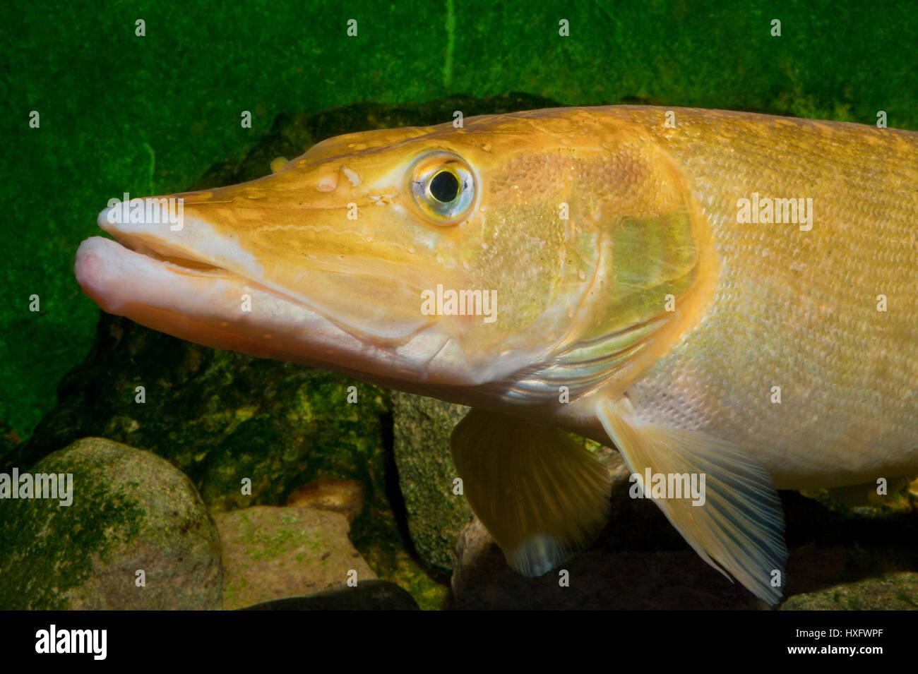 Northern Pike (Esox lucius), golden taxonomic unit, captivity. . Stock Photo
