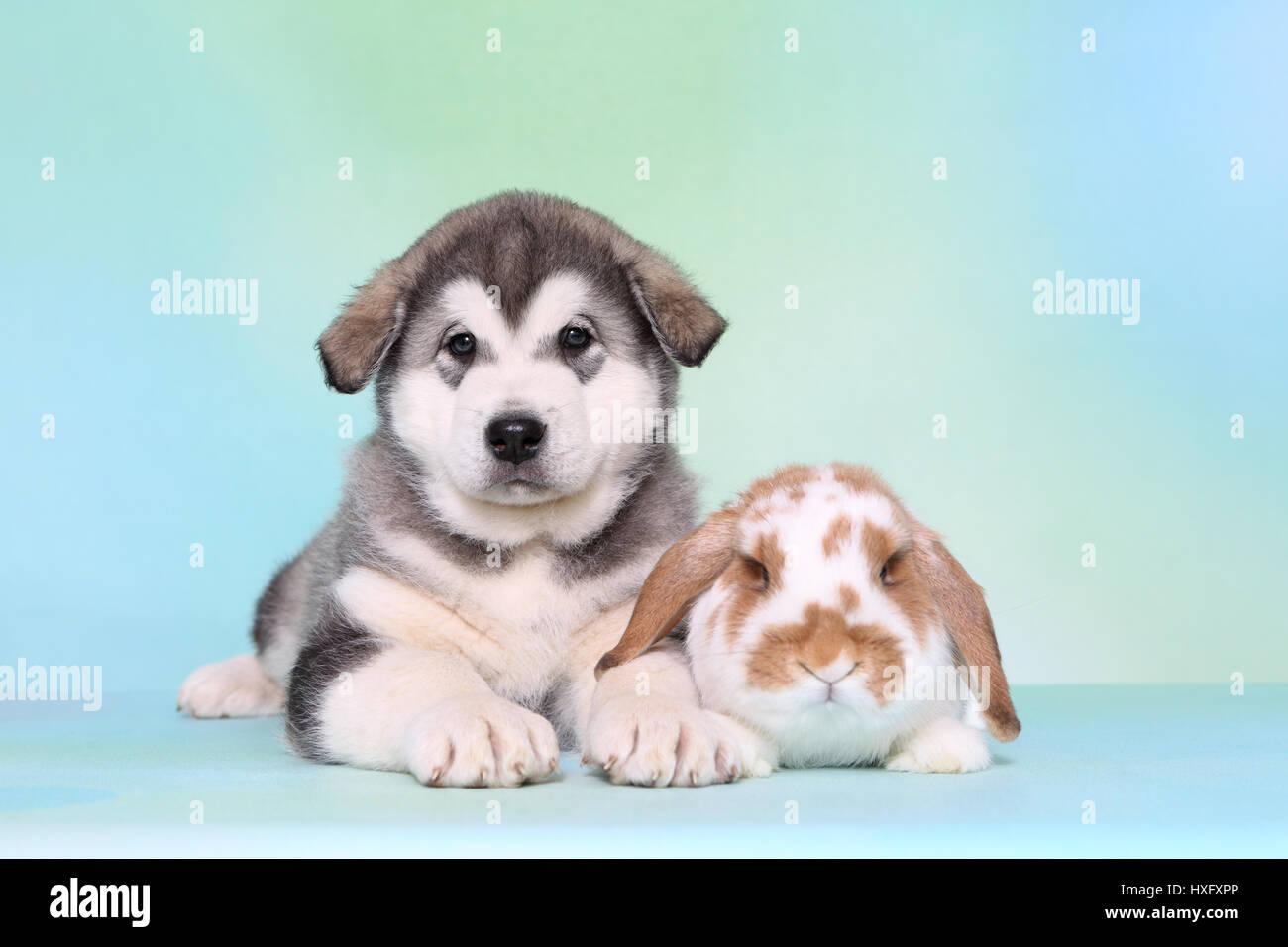 Alaskan Malamute Puppy 6 Weeks Old And Mini Lop Bunny Lying Next