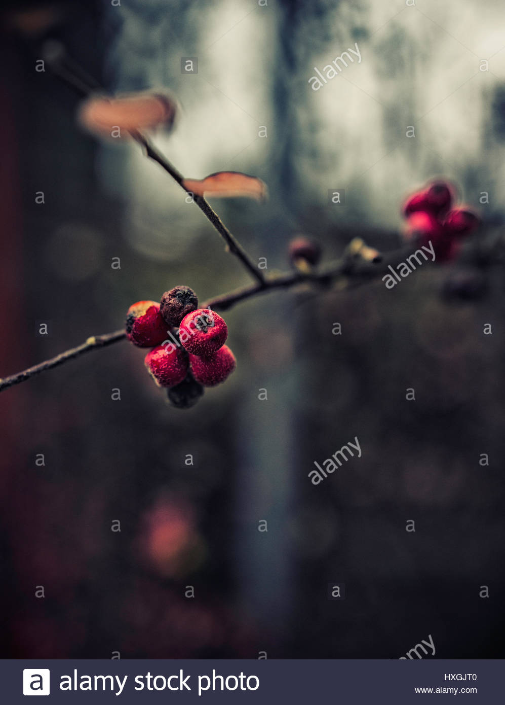 Red Berries in close up against a soft abstract background - Stock Image