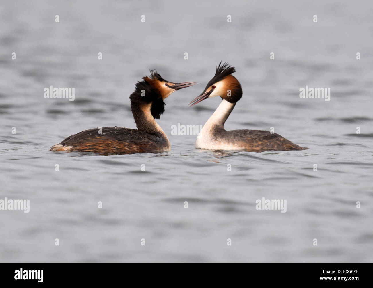 Pair of Great Crested Grebes (Podiceps cristatus) at start of courtship display - Stock Image
